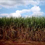 Sugarcane Cultivation